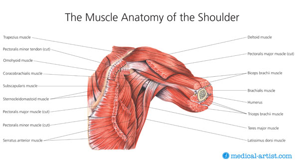The Muscle Anatomy of the Shoulder | Latin Scientists